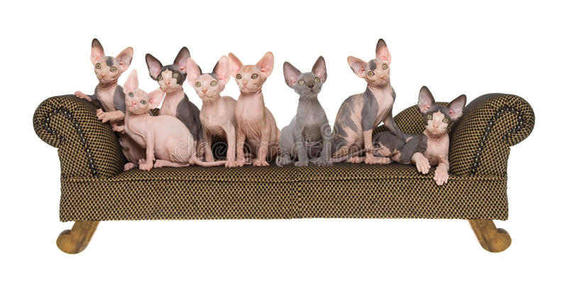 综合小猫全景sphynx 免版税库存图片