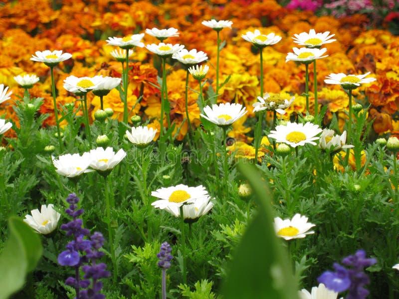 绽放五颜六色的花 免版税图库摄影