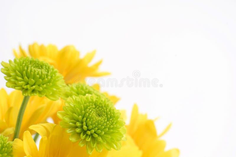 绽放五颜六色的雏菊 免版税库存照片