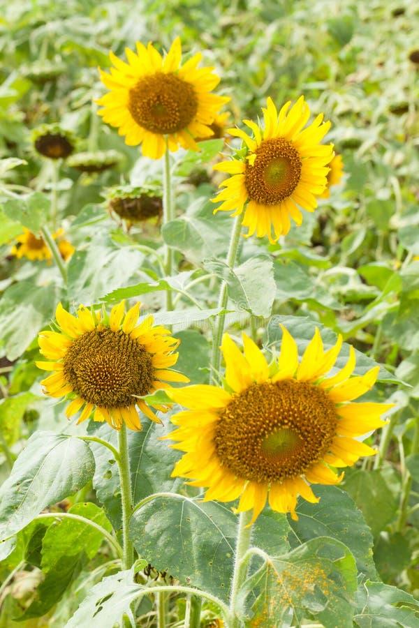 绽放充分的向日葵 免版税图库摄影