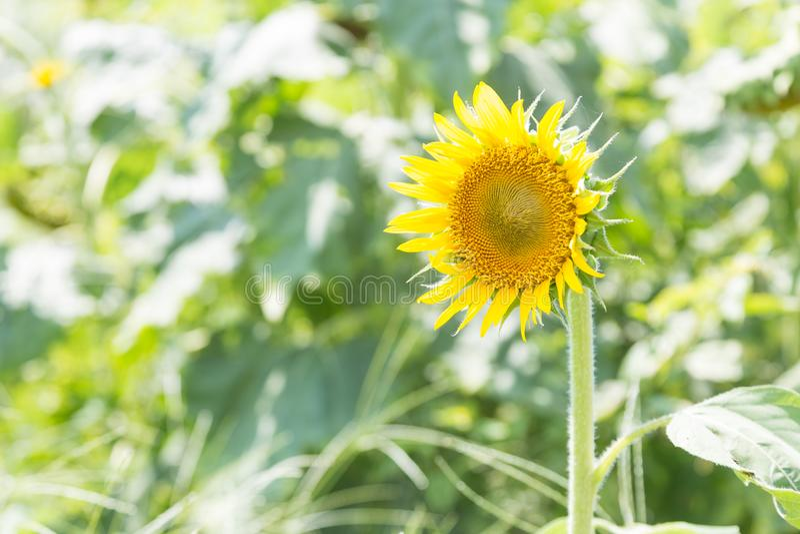 绽放充分的向日葵 库存图片