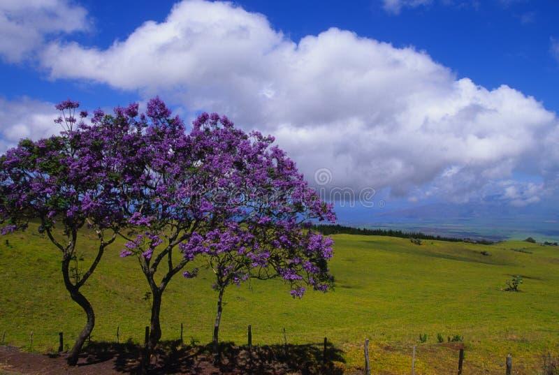绽放兰花楹属植物结构树 库存照片