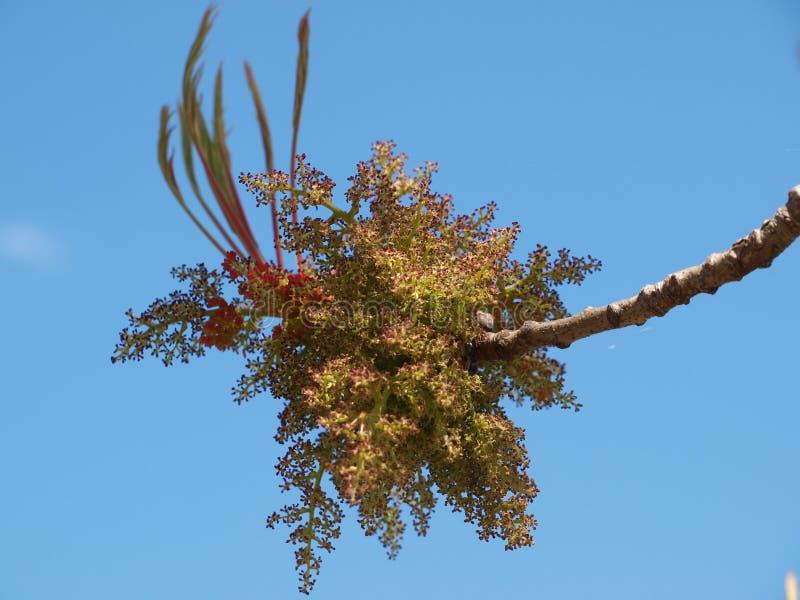 绽放和鸡爪枫的叶子部署 免版税库存照片