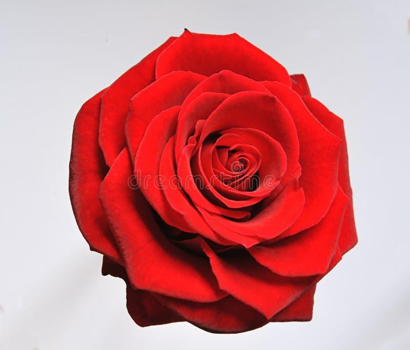 绽放唯一红色的玫瑰 库存照片
