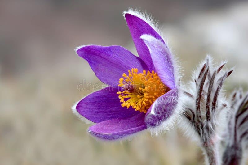 绽放好的pasqueflower 免版税图库摄影