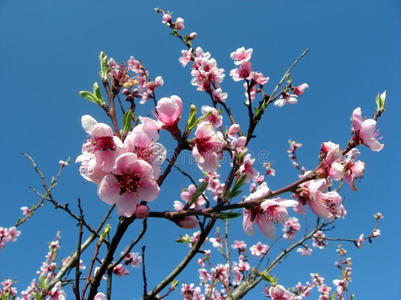 绽放开花桃子粉红色 图库摄影