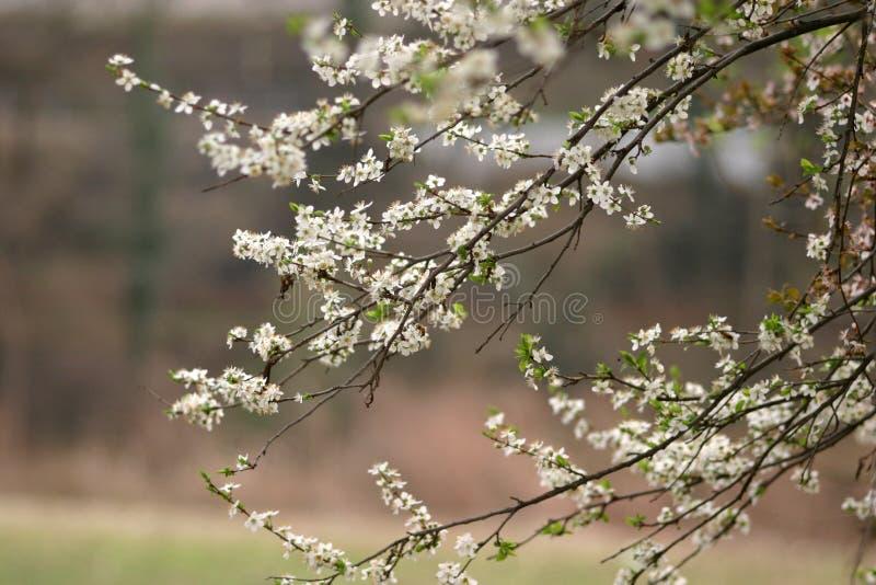 绽放春天 库存照片