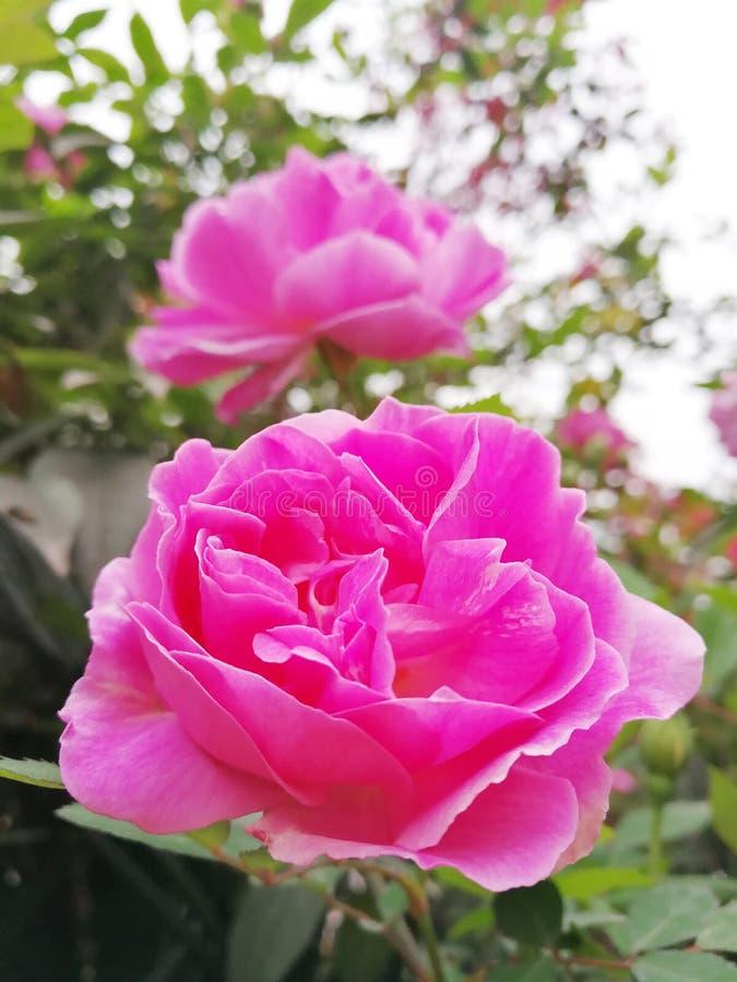 绽放桃红色玫瑰 库存照片