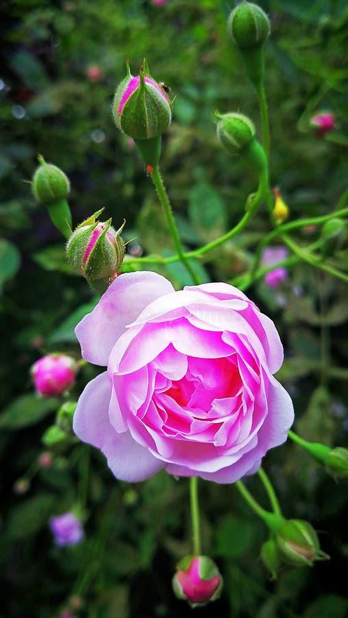 绽放桃红色玫瑰 免版税库存图片