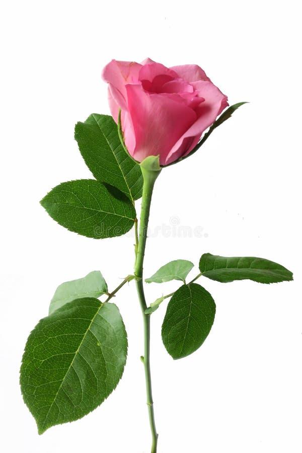 绽放桃红色玫瑰 库存图片