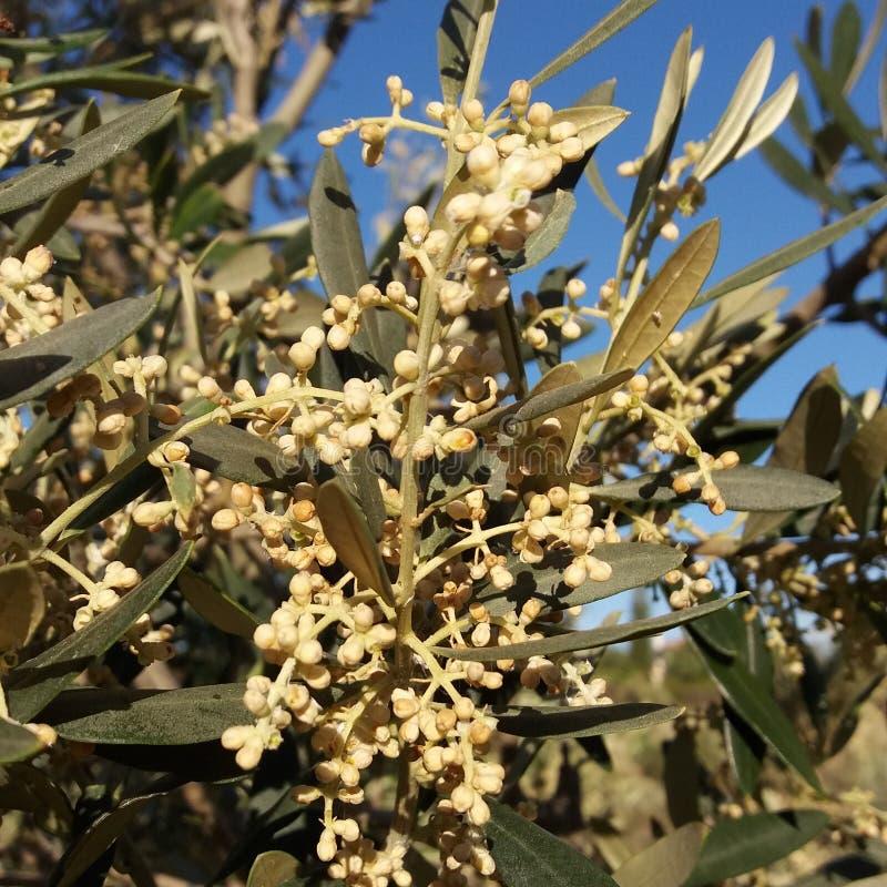 绽放橄榄树 免版税库存照片