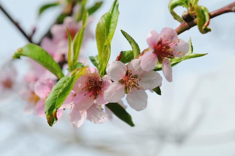 绽放油桃结构树 免版税库存图片