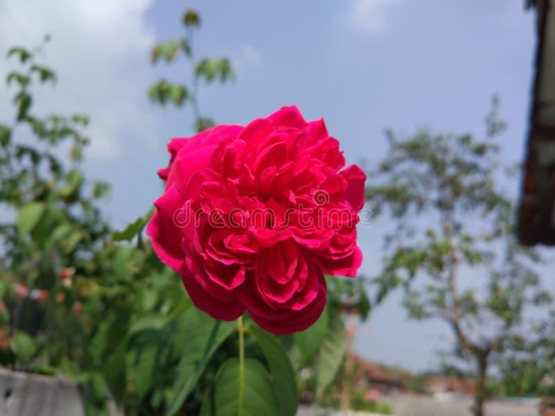 绽放玫瑰色花 库存图片