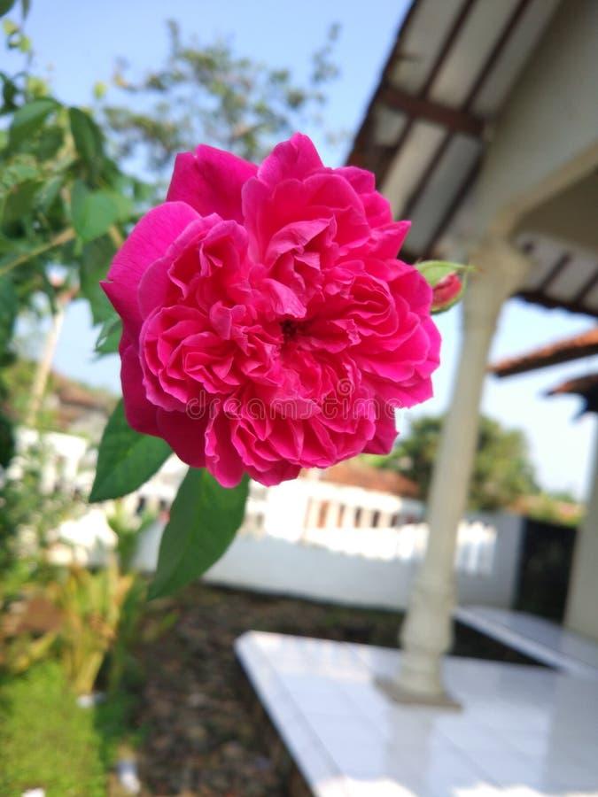 绽放玫瑰色花 图库摄影
