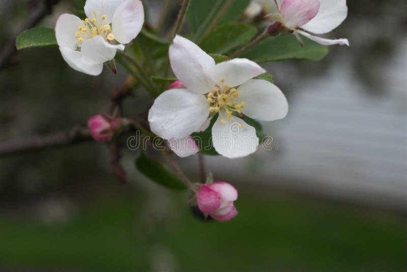 绽放的不可思议的心脏在春天 免版税库存图片