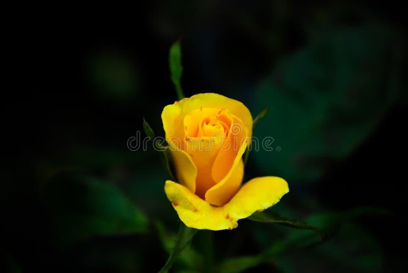 绽放的小黄色罗斯 免版税库存照片