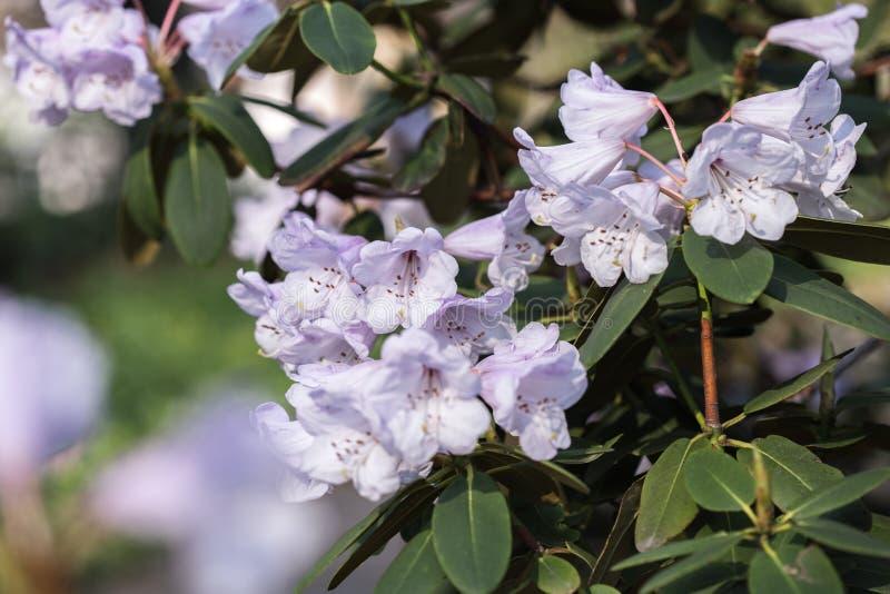 绽放的杜鹃花植物与不同颜色花  杜娟花灌木在用不同的花颜色的公园 Rhododendro 免版税图库摄影