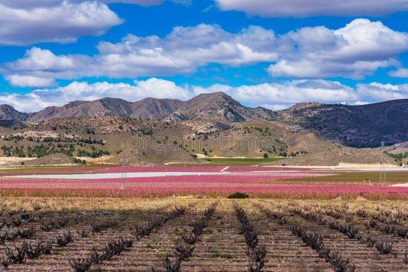 绽放的果树园 开花果树在谢萨,穆尔西亚西班牙 库存照片