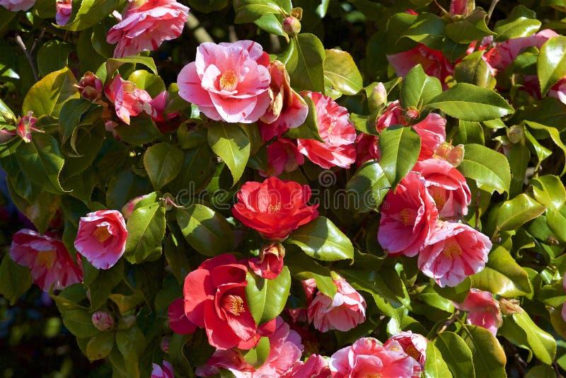 绽放的玫瑰丛 免版税库存照片