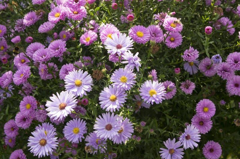 绽放的Symphyotrichum novi-belgii纽约翠菊装饰秋天植物 免版税库存照片