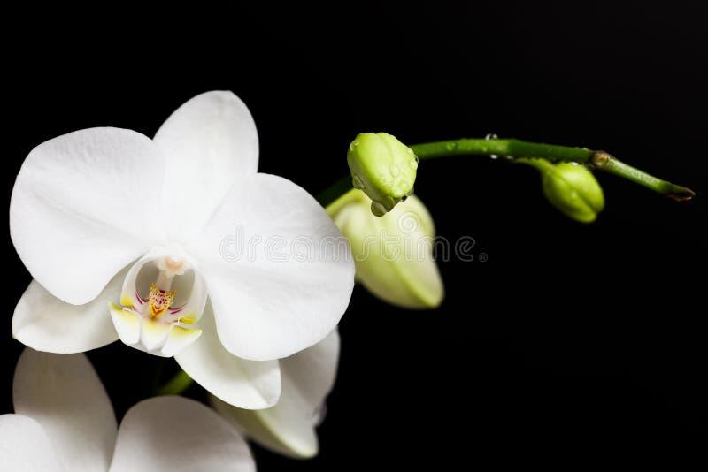 绽放花兰花白色 库存图片