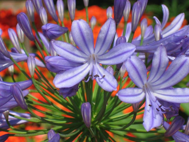 绽放蓝色五颜六色的花 免版税图库摄影