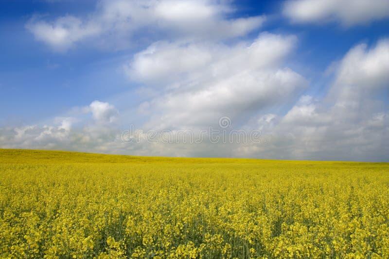 绽放领域黄色 库存图片