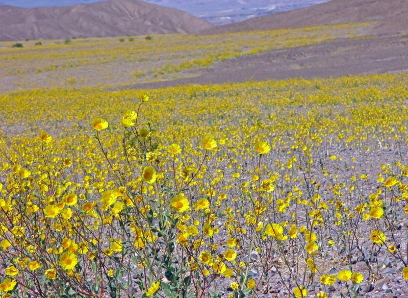 绽放Death Valley 免版税库存照片