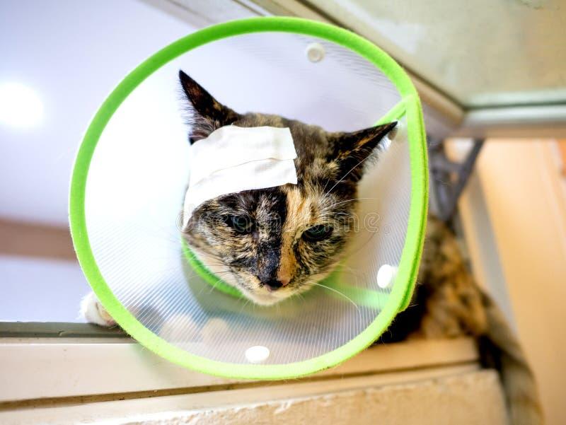 绿伊丽莎白时代衣领头部创可伤猫 免版税库存照片