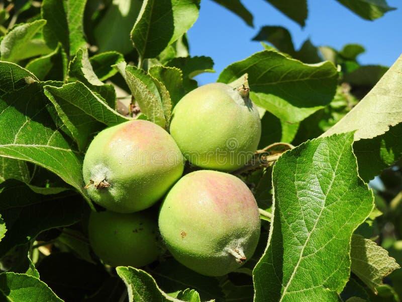 绿化在分支,立陶宛的不成熟苹果 免版税库存照片