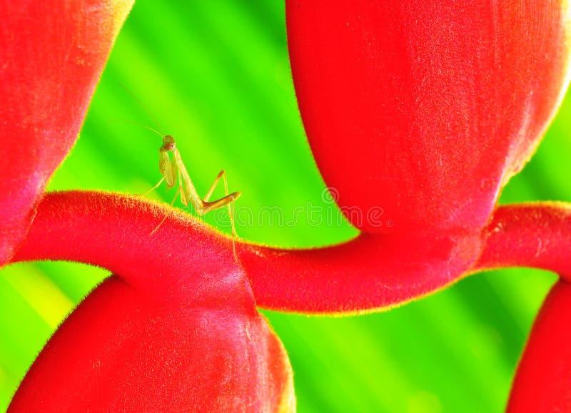 绿化小的螳螂 库存图片