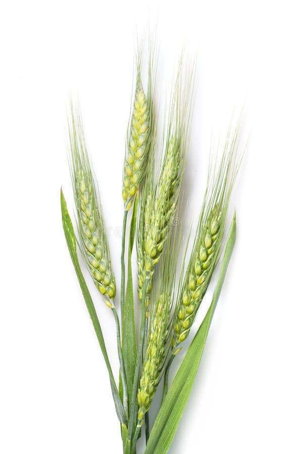 绿化查出的麦子白色 免版税库存照片