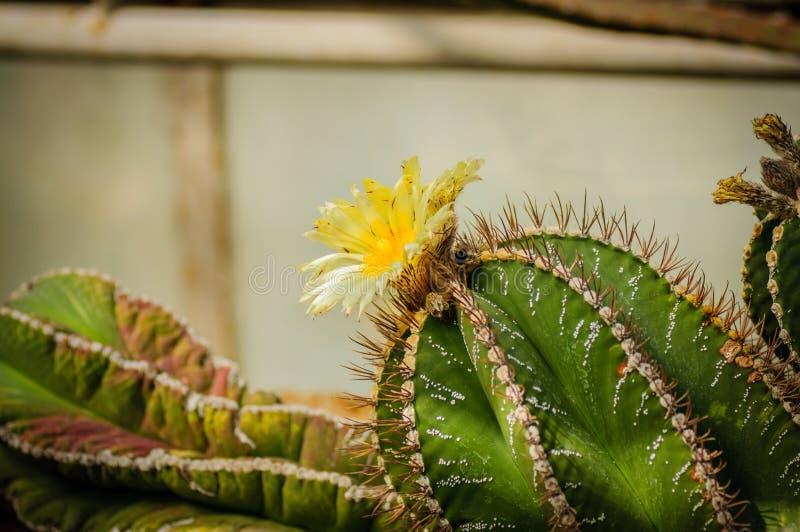 绿化用银与黄色花开花的小点仙人掌Astrophytum 库存照片