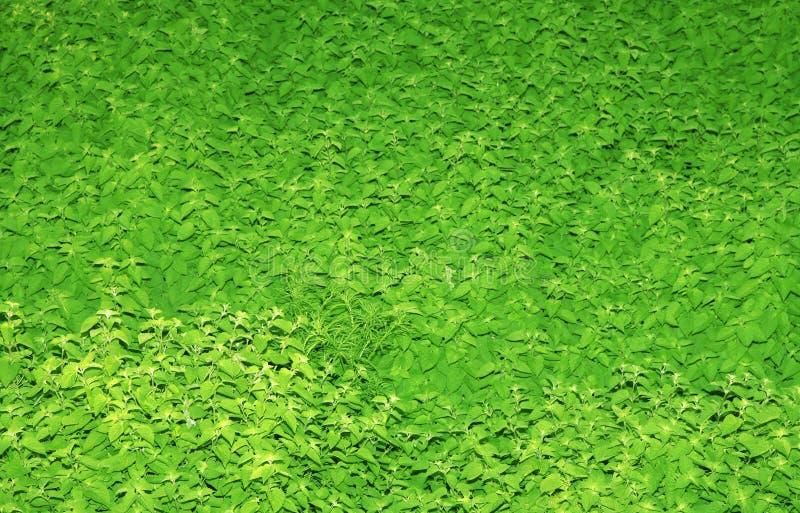 绿化造币厂的补丁程序 免版税库存图片