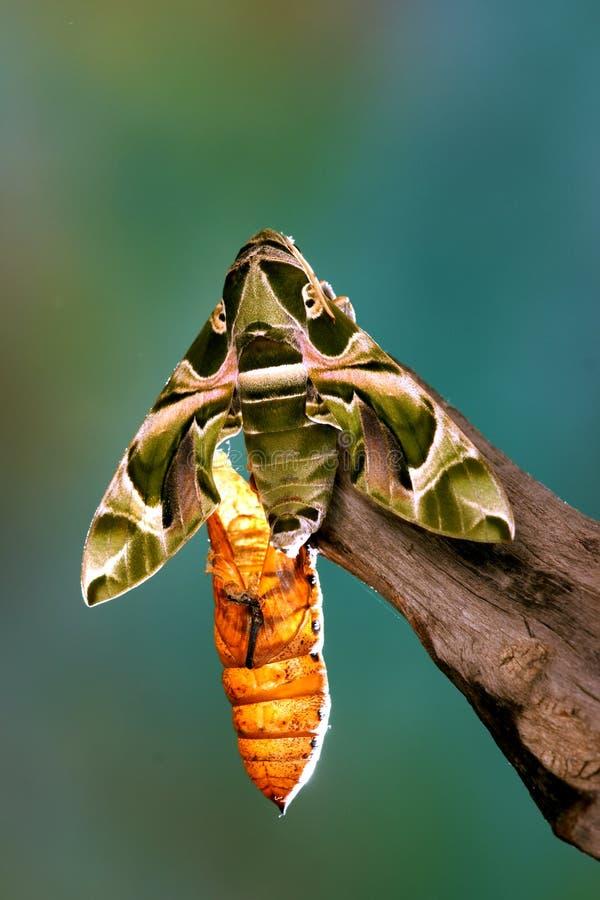 绿化飞蛾 库存照片