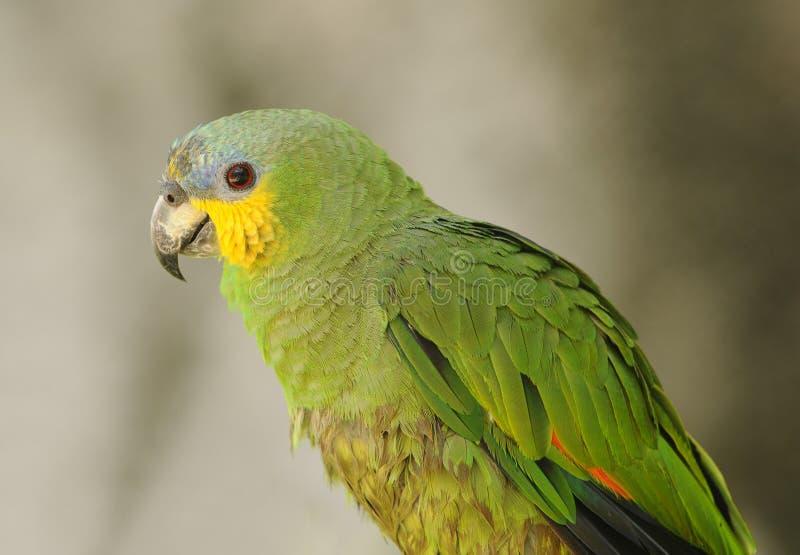 绿化鹦鹉 图库摄影