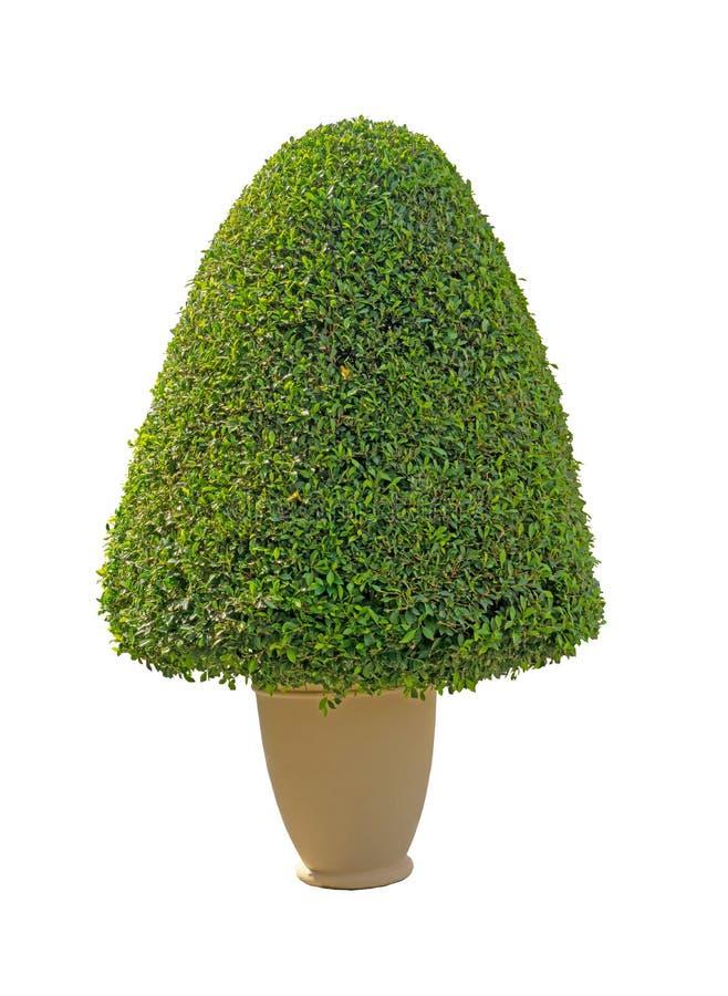 绿叶榕属在白色背景隔绝的花盆的灌木植物,绿色叶子灌木二用裁减路线切开了 库存图片