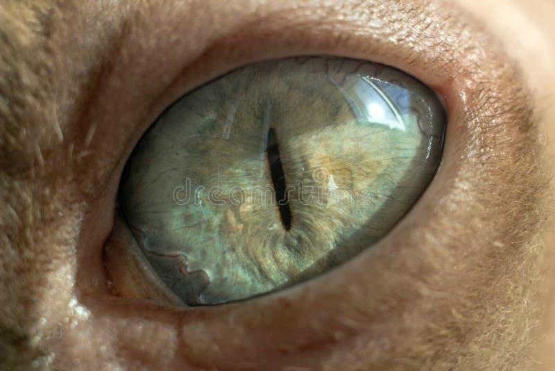 绿松石eyesphynx猫宏观照片  免版税库存照片