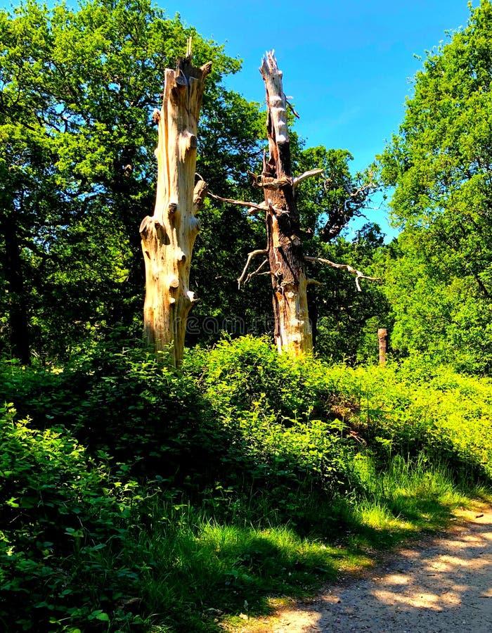绿林中两棵枯死的树干 库存照片
