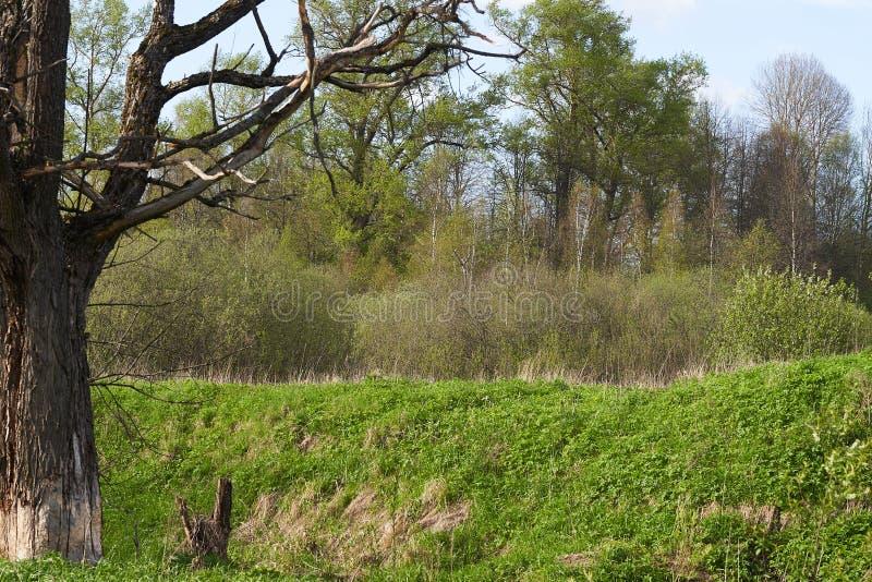 绿林背景下枯萎的老橡树,枝枝繁茂 库存图片