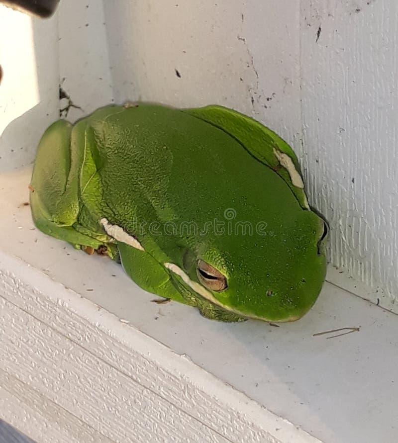 绿树蛙 库存图片