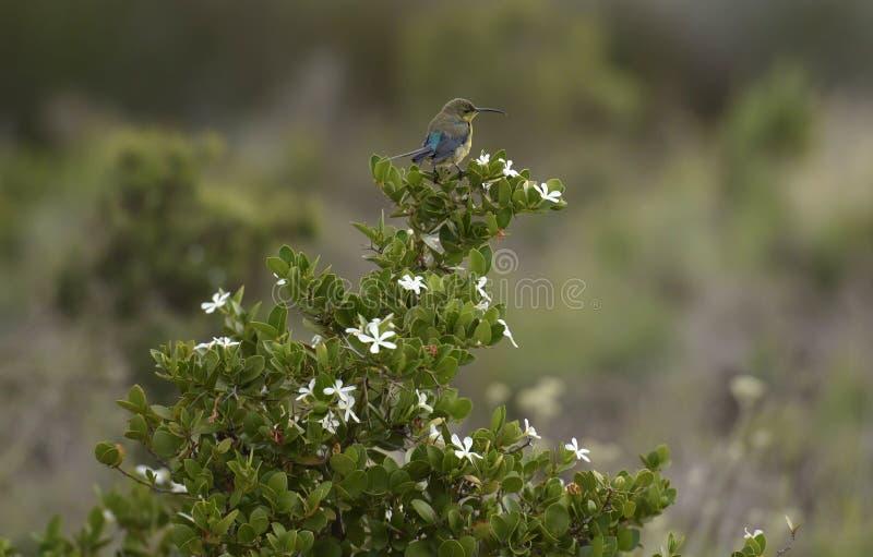 绿沸铜在植物的Sunbird Nectarinia famosa有白花的 免版税库存照片