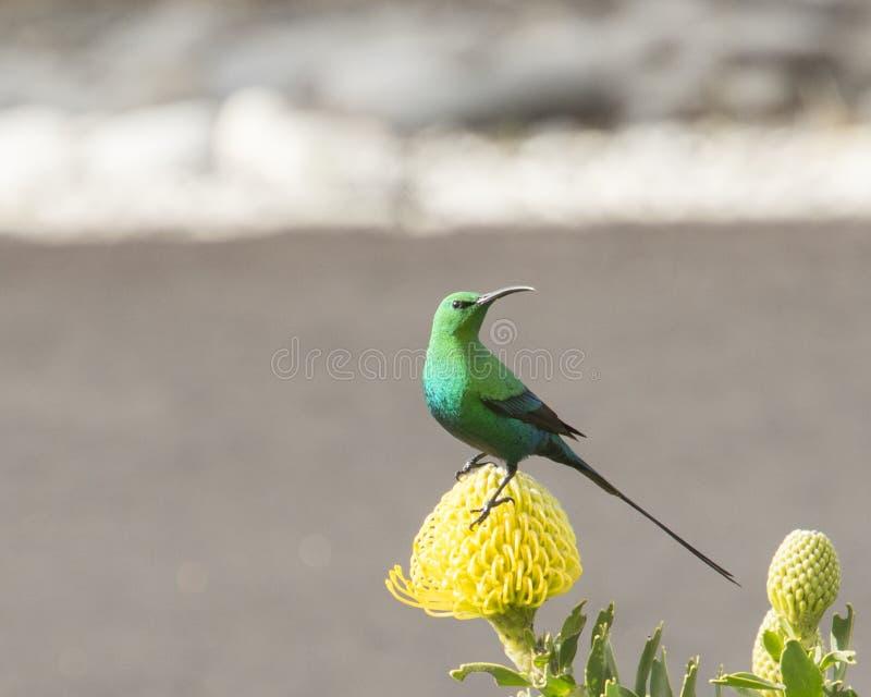 绿沸铜在黄色针垫的太阳鸟 免版税库存照片
