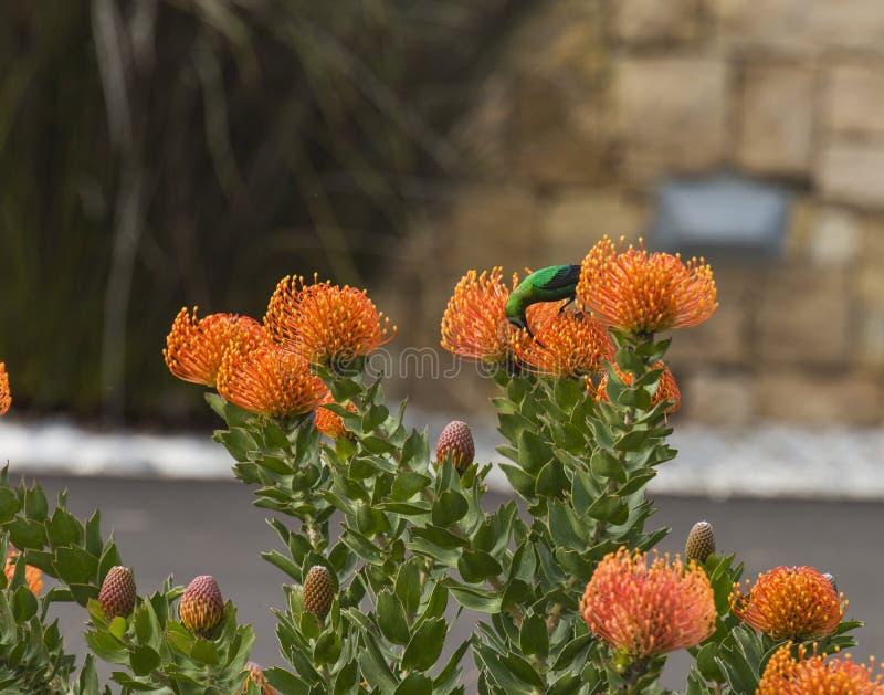 绿沸铜太阳鸟,在橙色针垫 免版税库存照片