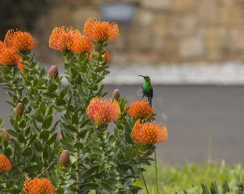 绿沸铜看太阳的鸟左 图库摄影