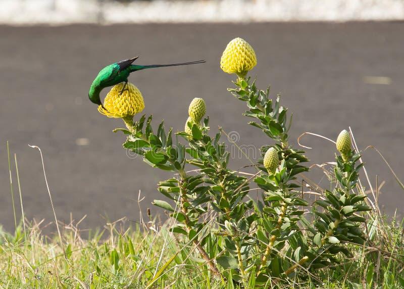 绿沸铜糖鸟,弯曲在黄色普罗梯亚木有花蜜 库存图片