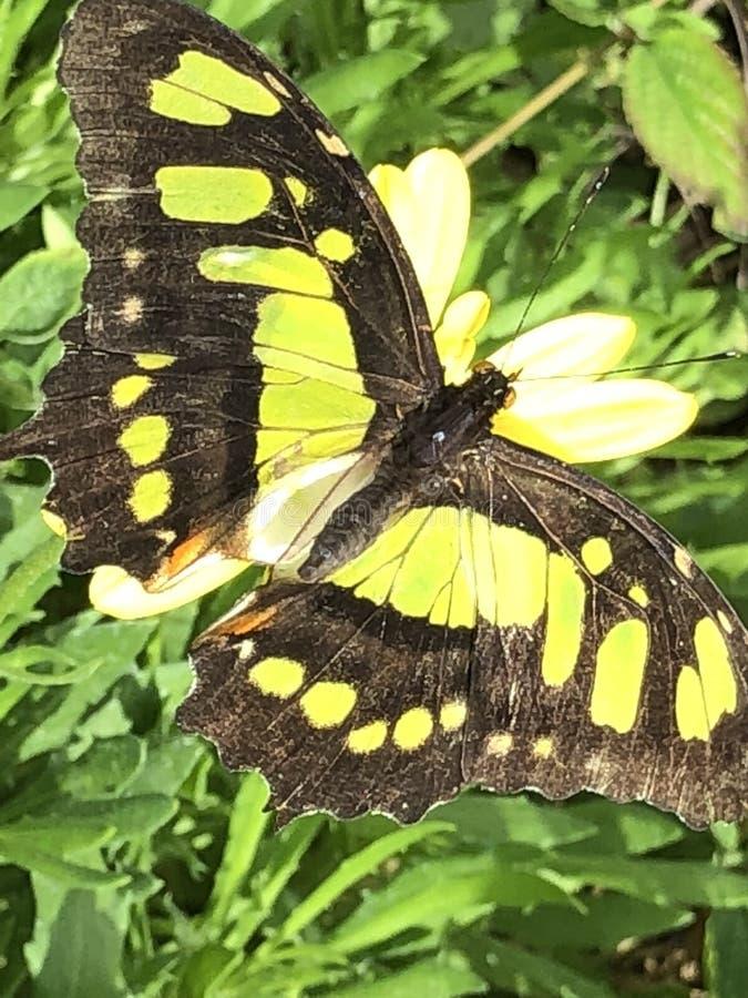 绿沸铜蝴蝶特写镜头照片 库存照片