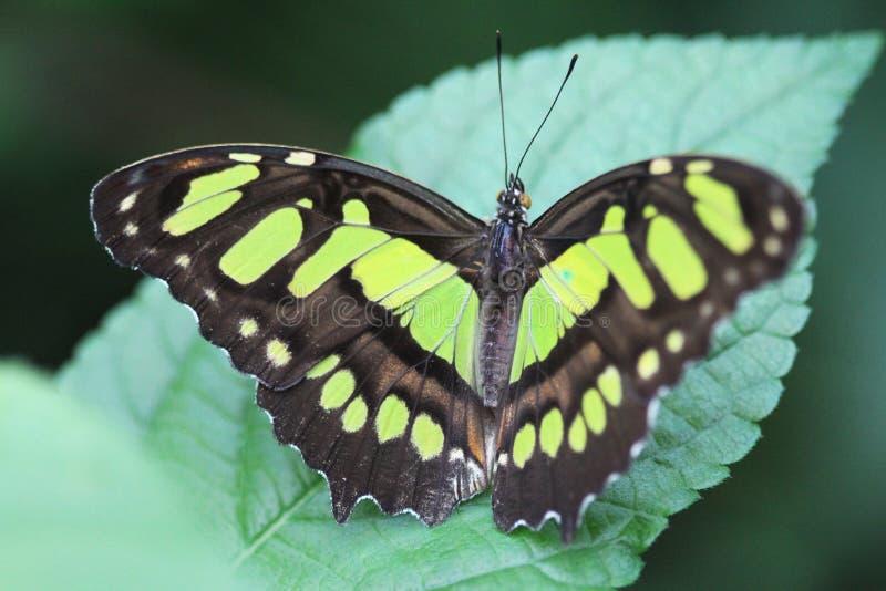 绿沸铜蝴蝶, Siproeta stelenes 免版税库存照片