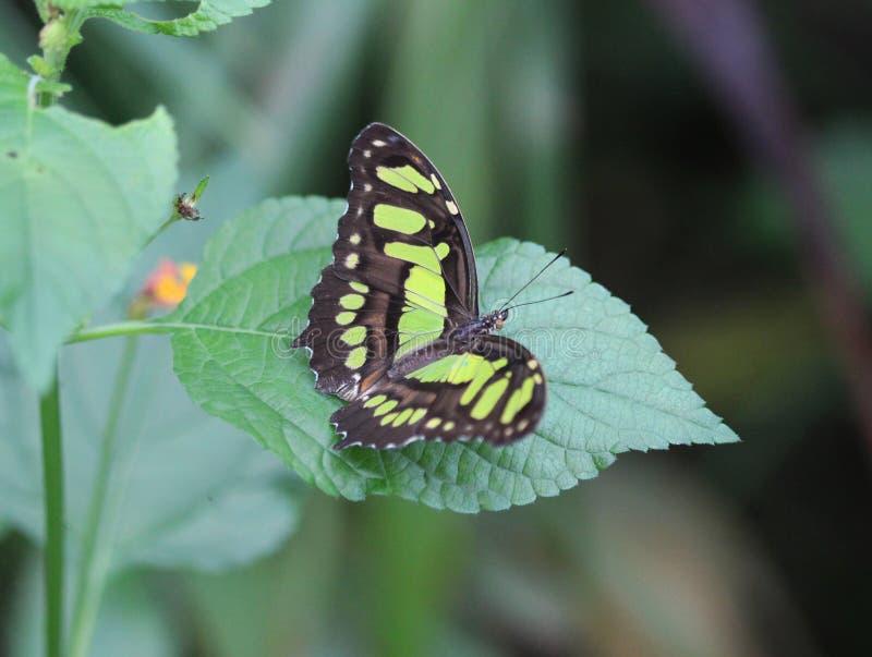 绿沸铜蝴蝶, Siproeta stelenes 免版税库存图片