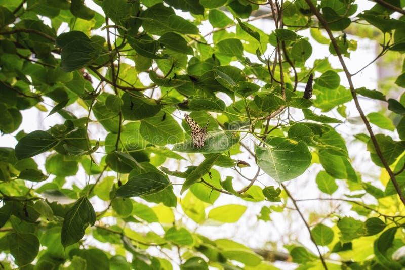 绿沸铜蝴蝶& x28; Siproeta stelenes& x29; 图库摄影